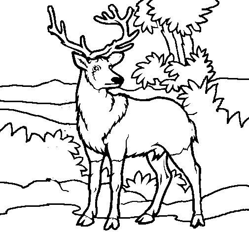 Dibujo de Ciervo adulto para Colorear