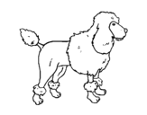 Dibujo de Poodle para colorear