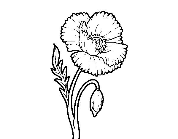 Dibujo de Una flor de amapola para Colorear - Dibujos.net