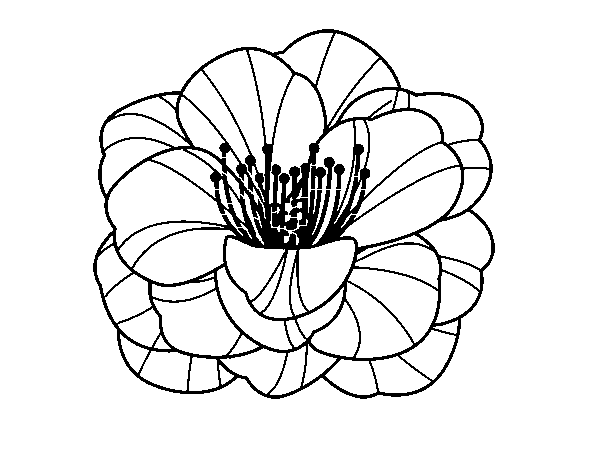 Dibujo de Amapola para Colorear - Dibujos.net