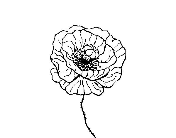 Dibujo de Flor de amapola para Colorear - Dibujos.net