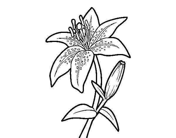 Dibujo De Un Lirio Para Colorear Dibujosnet